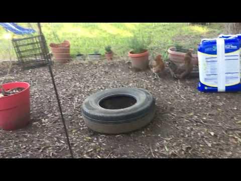 Chicken Diversions - Ideas for Backyard Flock Fun