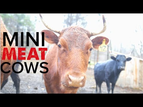 The Perfect Homestead Mini Meat Cow - The Dexter Cattle