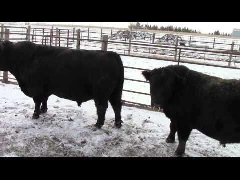 Lowline Angus Calves and Bulls