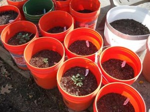 bucket potatoes, survival, gardening, TSHTF, preparedness, food storage
