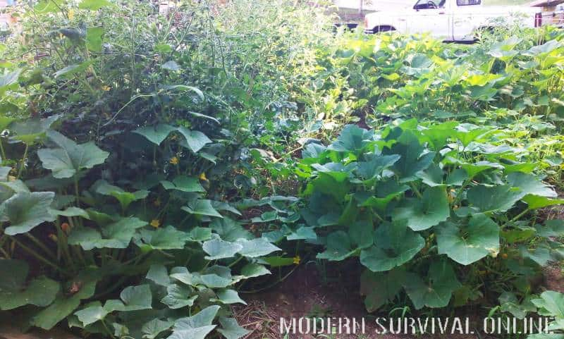 cucumbers and squash in survival garden