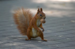 Squirrelnut