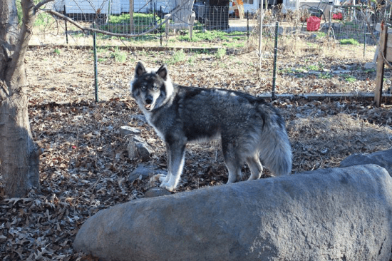 Jake - the agouti husky