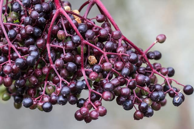 elder berries