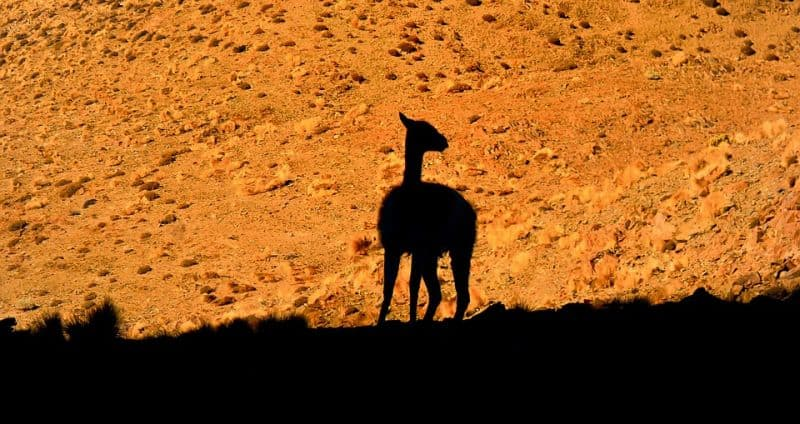 llama in the desert may indicate water
