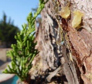 drop of sap