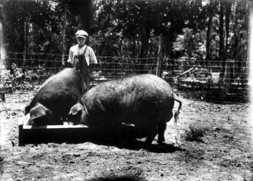 Poland China pigs