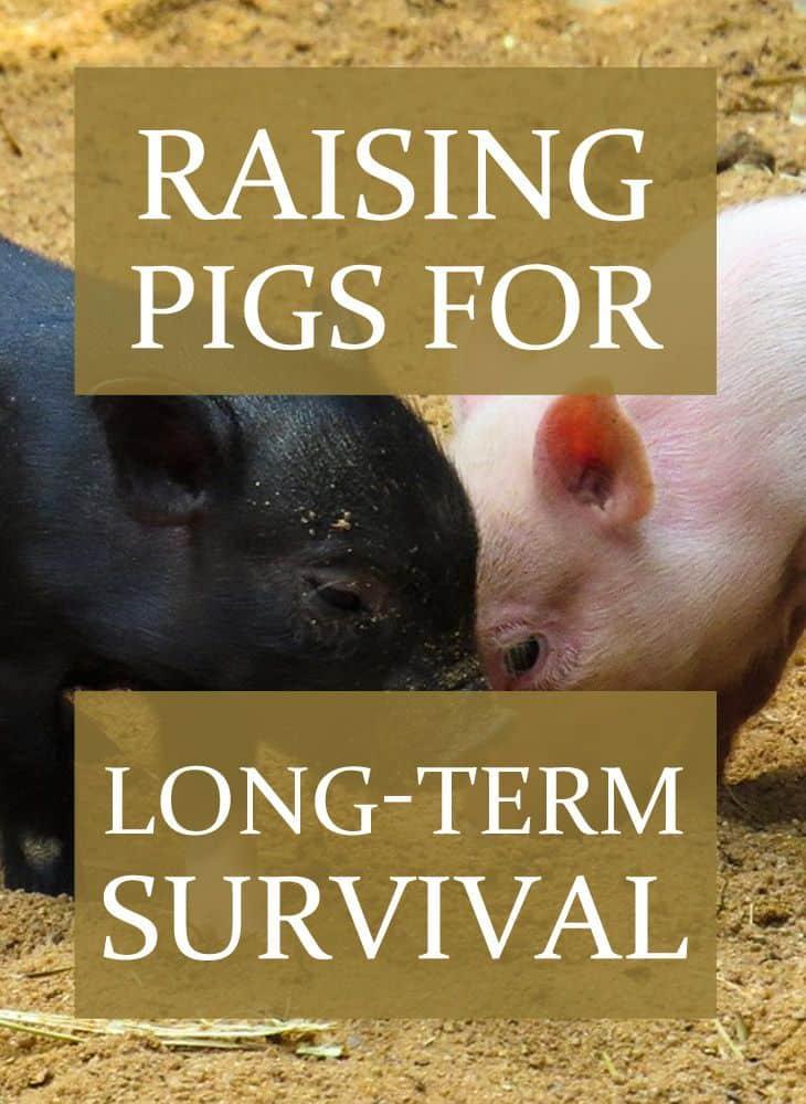 raising pigs pinterest