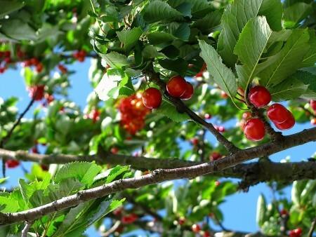 sweet cherry tree