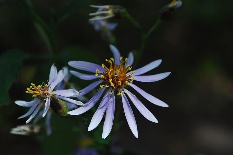 Eurybia macrophylla flower