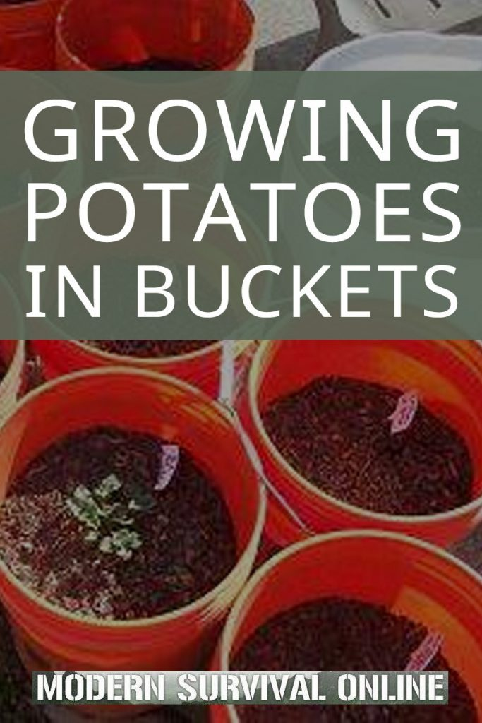 growing potatoes pinterest image
