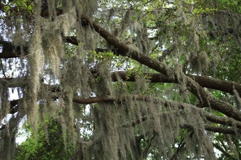 Spanish moss on oak tree