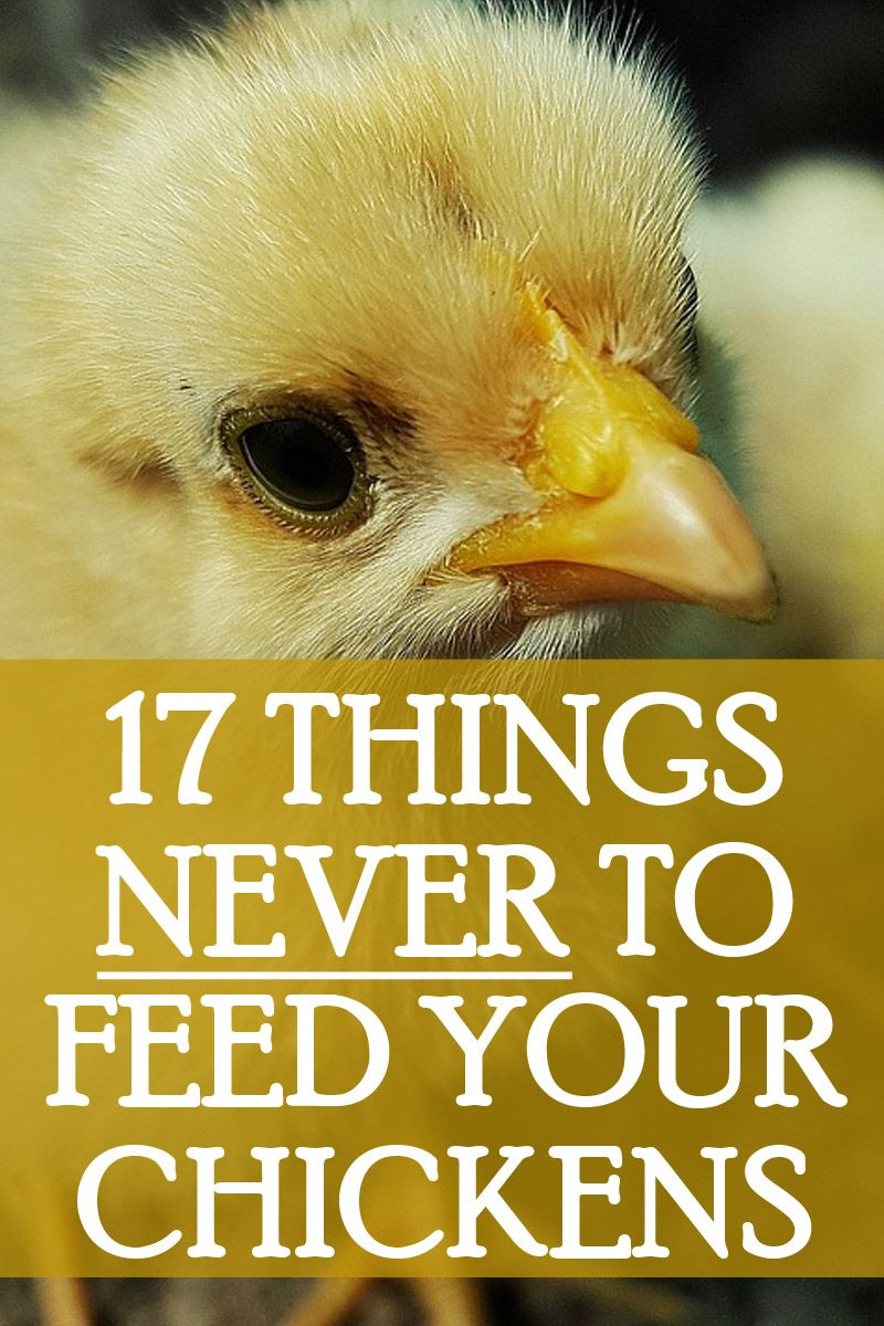 what chickens can eat pinterest 2