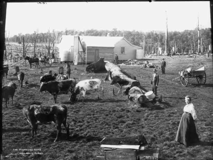 pioneer cattle farm