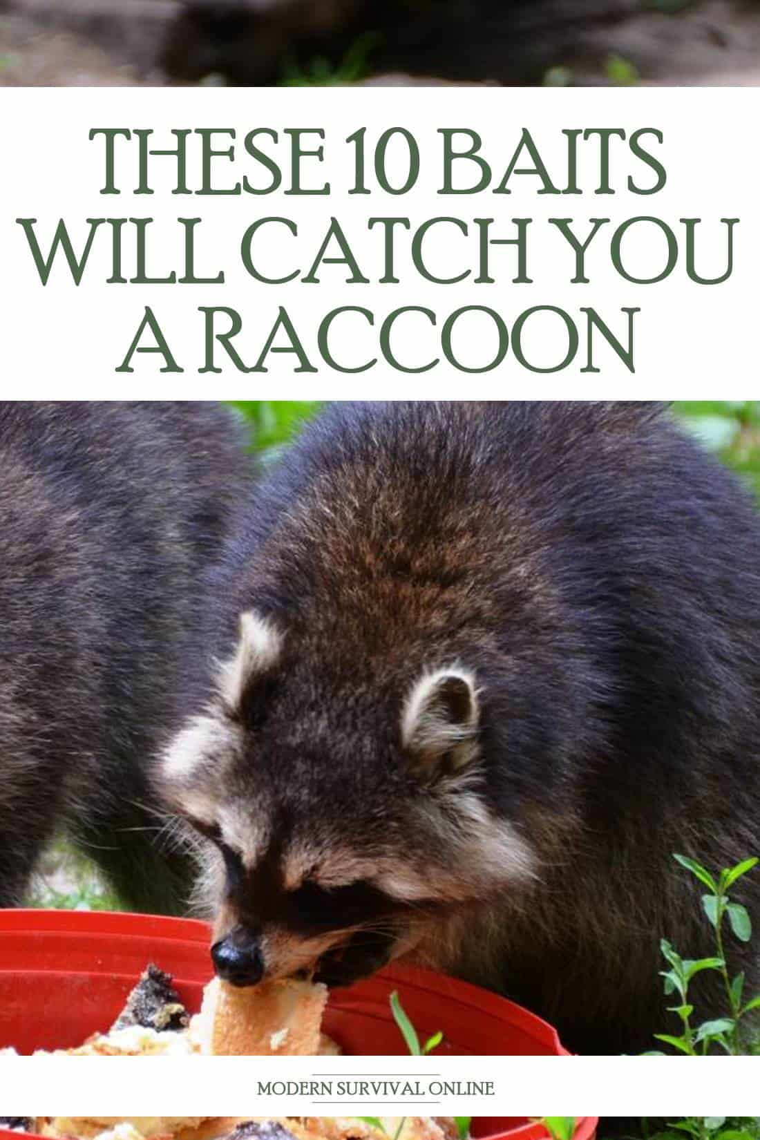 raccoon baits pinterest