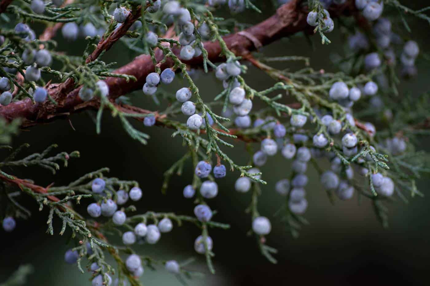 juniper berries on branch